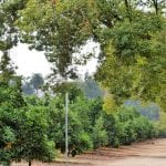 Redlands Orange Groves
